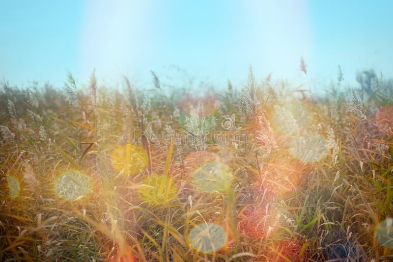 干燥芦苇藤茎、纸莎草在草甸和美好的秋天天 库存图片