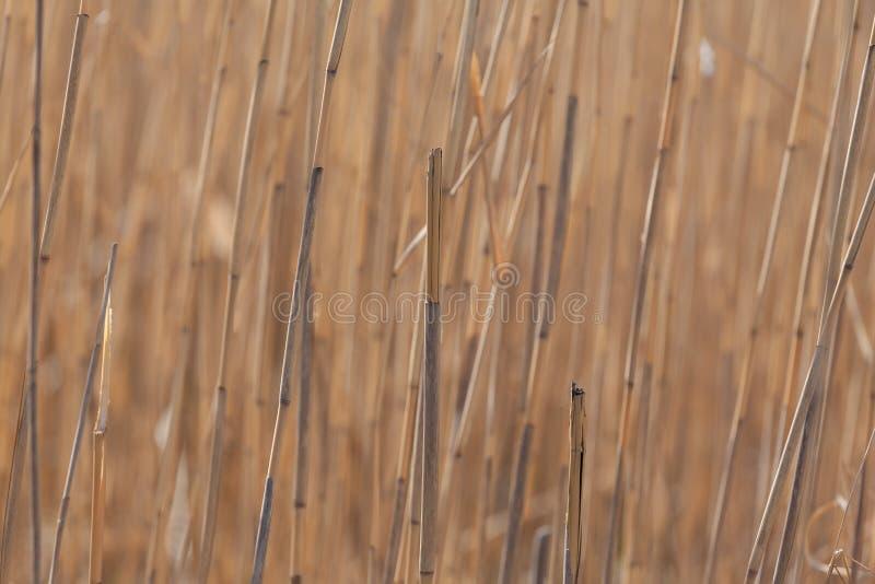 干燥芦苇词根 库存图片