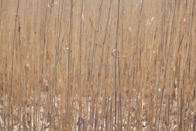 干燥芦苇词根 图库摄影