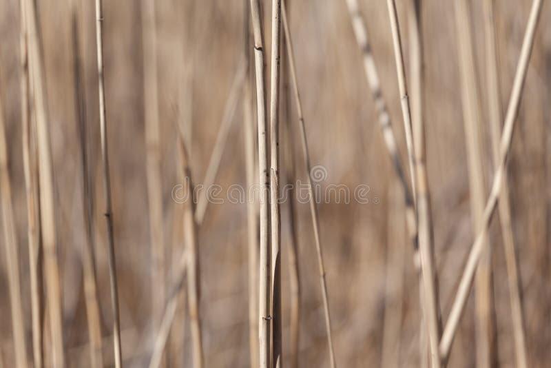 干燥芦苇词根 免版税库存照片