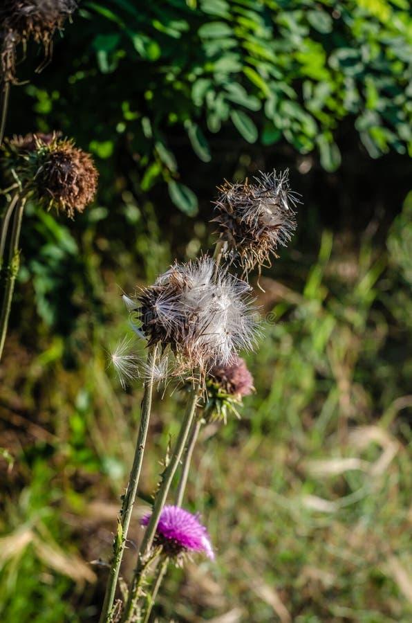 干燥蓟芽在阳光下 在他们顶部的射击 E 图库摄影