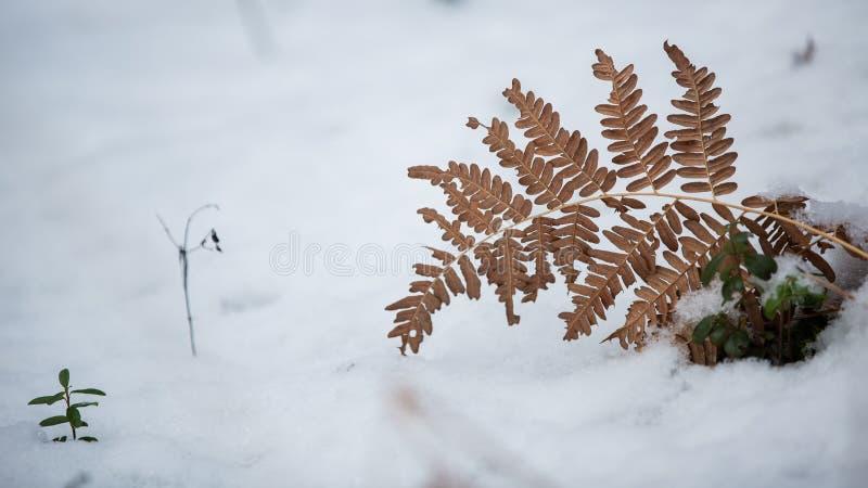 干燥蕨 库存照片