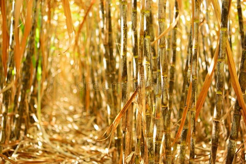 干燥藤茎行 免版税库存照片