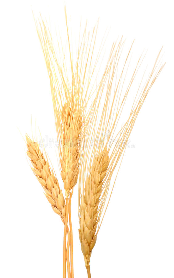 干燥麦子五谷 库存图片