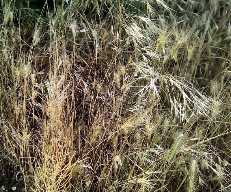 干燥麦子草特写镜头在黑暗的背景的 免版税库存图片