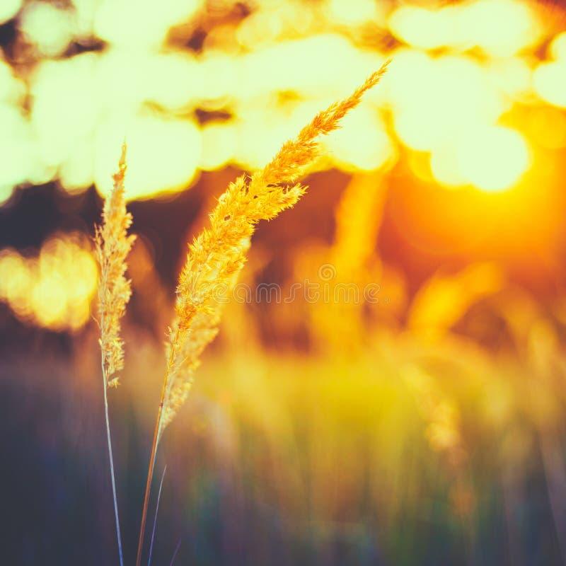干燥绿草在日落阳光下 美好的黄色日出Lig 免版税库存照片
