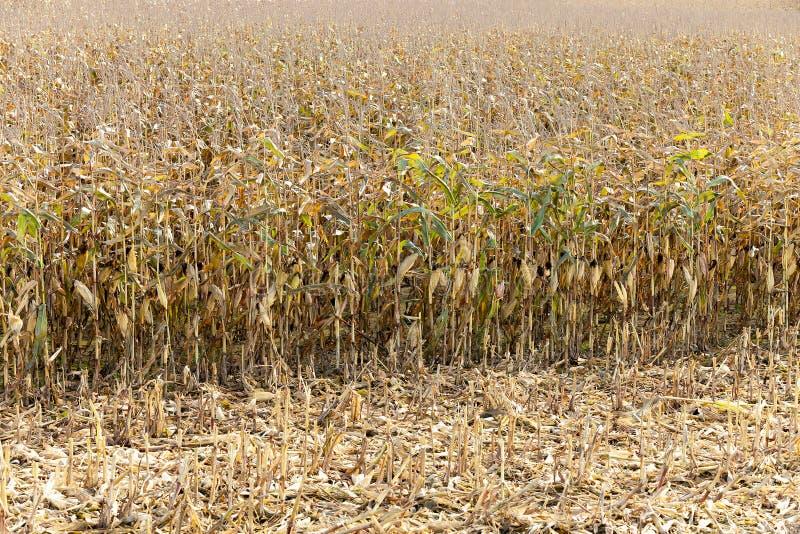 干玉米的领域 免版税库存图片