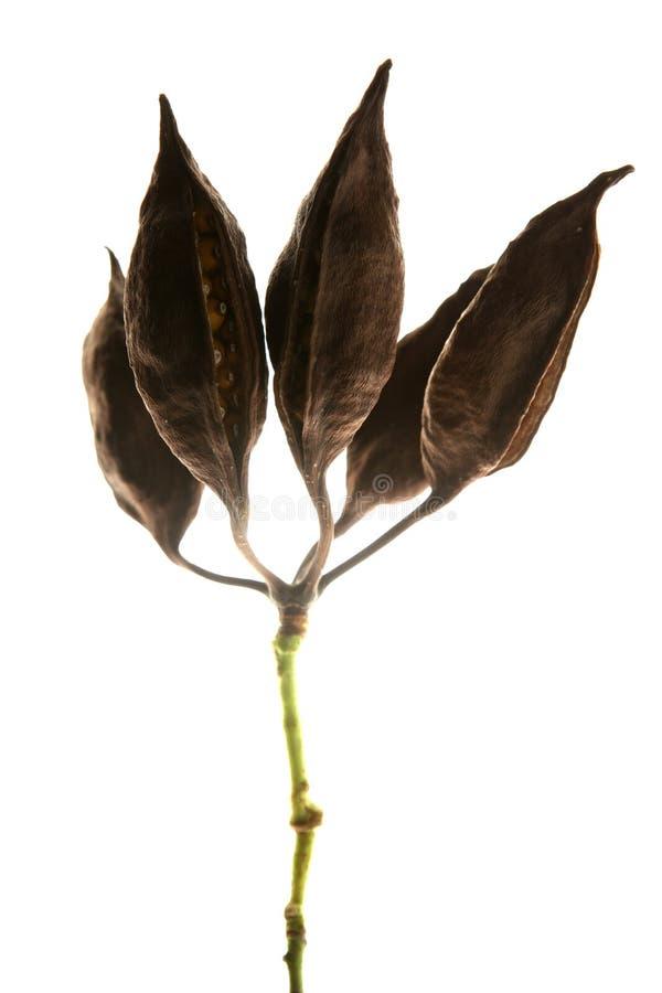 干的木棉结果实种子显示 免版税库存图片