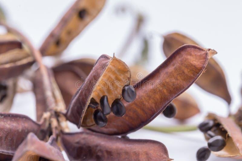干种子含羞草或困植物孤立在白色背景 免版税图库摄影