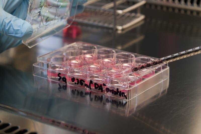 干细胞文化在实验室 免版税库存图片