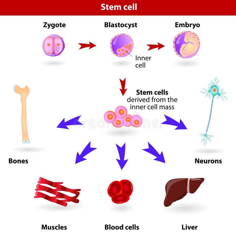 干细胞 库存例证