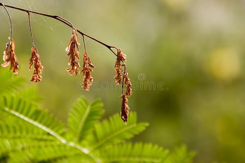 干罗望子树离开样式背景纹理 图库摄影