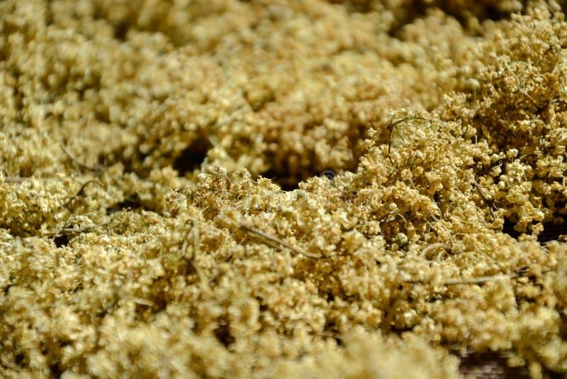 干芳香接骨木浆果(接骨木花)茶的,烘干新鲜的elderflowers 免版税库存照片