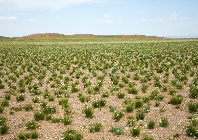 干草原在花的春天 免版税库存照片