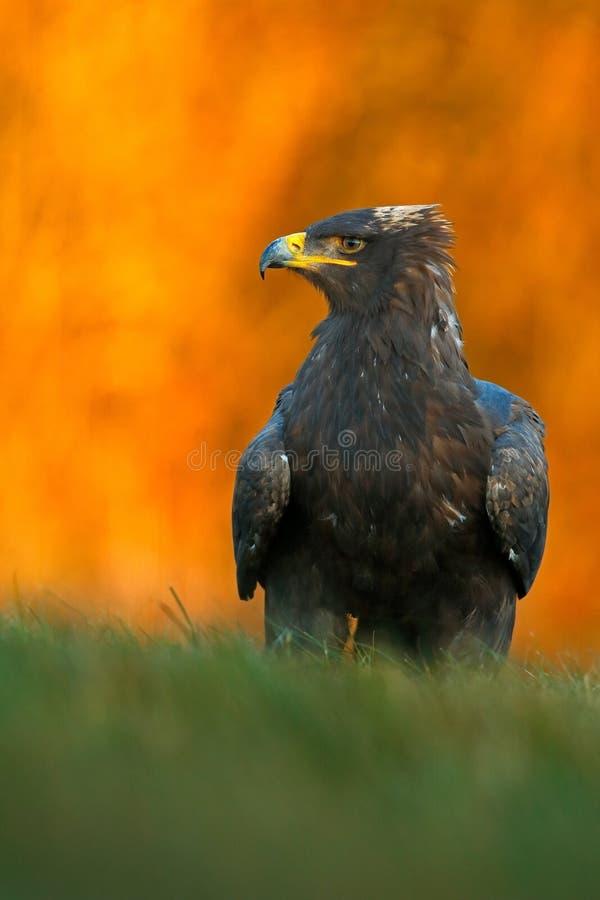 干草原老鹰,天鹰座nipalensis,在草坐草甸,橙色秋天森林在背景,瑞典中 免版税图库摄影