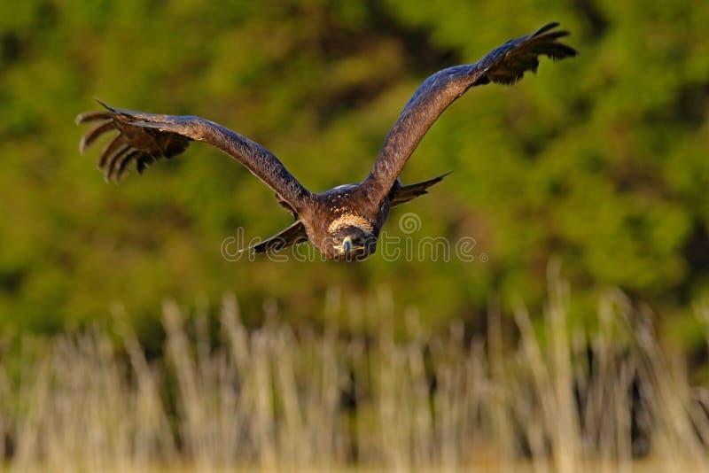 干草原老鹰,天鹰座nipalensis,鸟移动的行动场面,飞行的黑暗的肌力鸷与大翼展,瑞典的 免版税库存图片