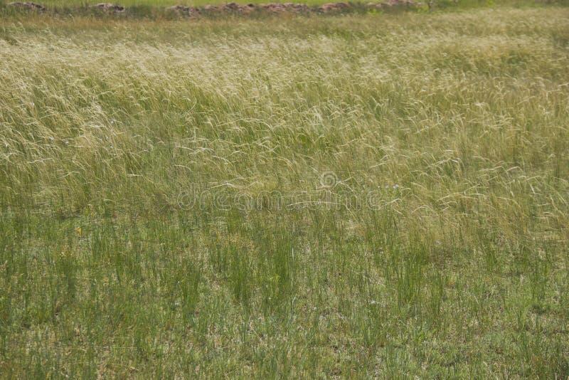 干草原草形成一个金银细丝工的样式在最轻微的微风 免版税库存照片