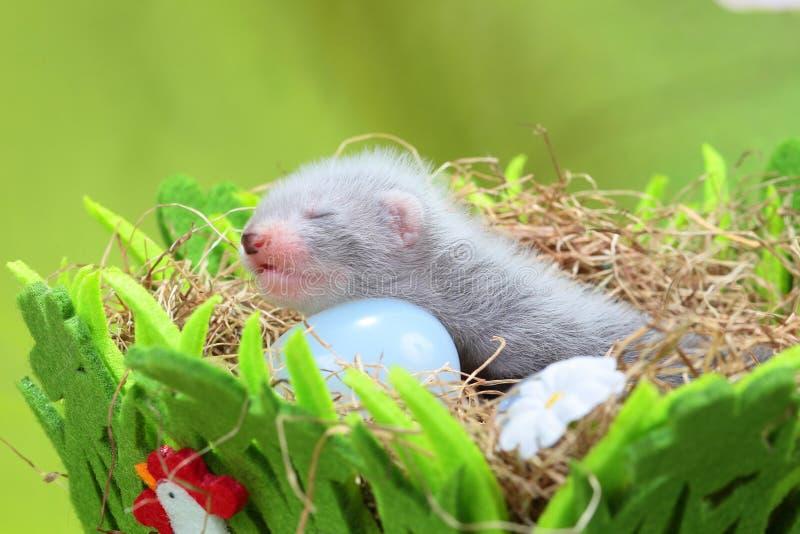 干草巢的白鼬婴孩  库存图片