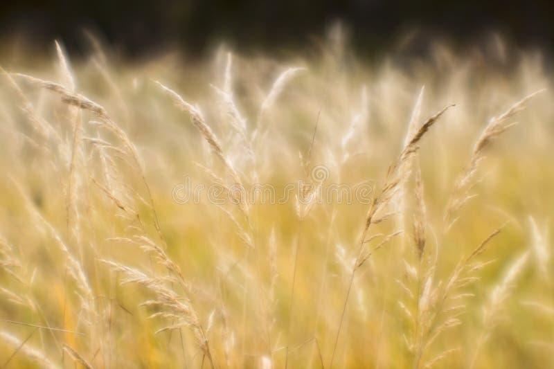 干草软的背景迷离在秋天的 麦子耳朵背景特写镜头  ?? 免版税库存照片