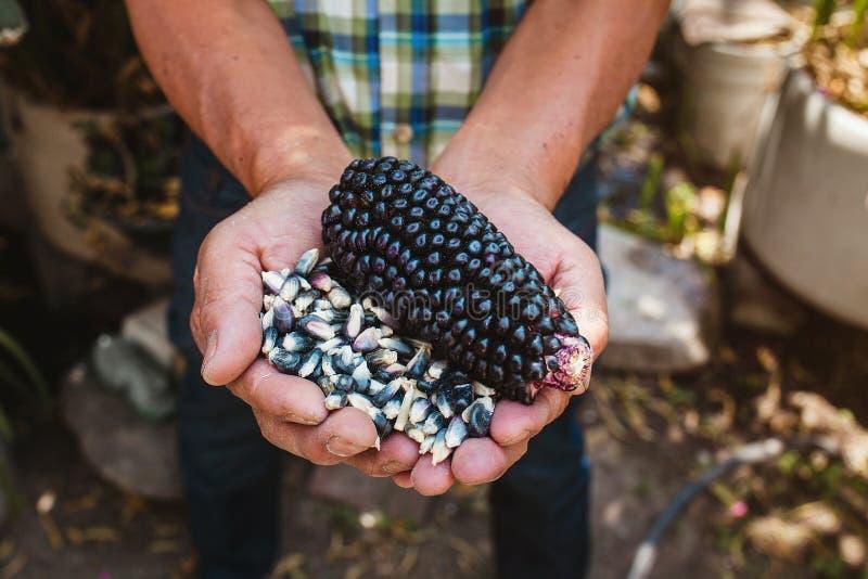 干蓝色玉米棒子,蓝色玉米在墨西哥手上在墨西哥 免版税库存照片