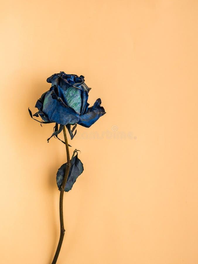 干蓝色玫瑰 免版税库存图片