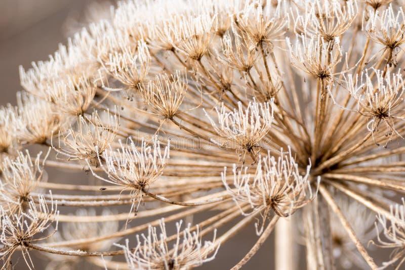 干词根hogweed与一个蓬松帽子,盖用树冰在冬天 免版税库存图片