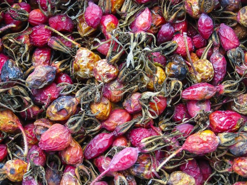 干野玫瑰果 野蔷薇特写镜头 秋天莓果 免版税库存图片