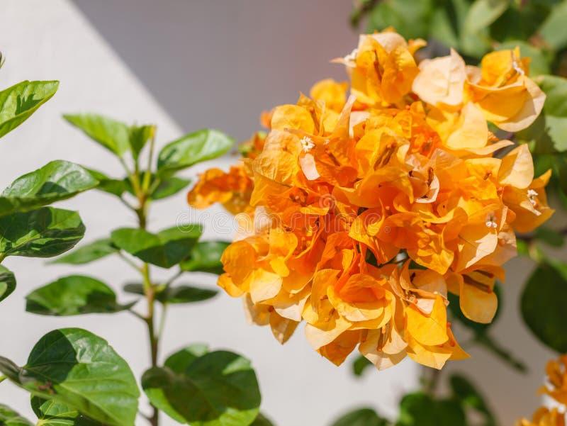 干金九重葛美丽的景色开花棘手的装饰藤、灌木和树与近象花的春天叶子 免版税库存图片