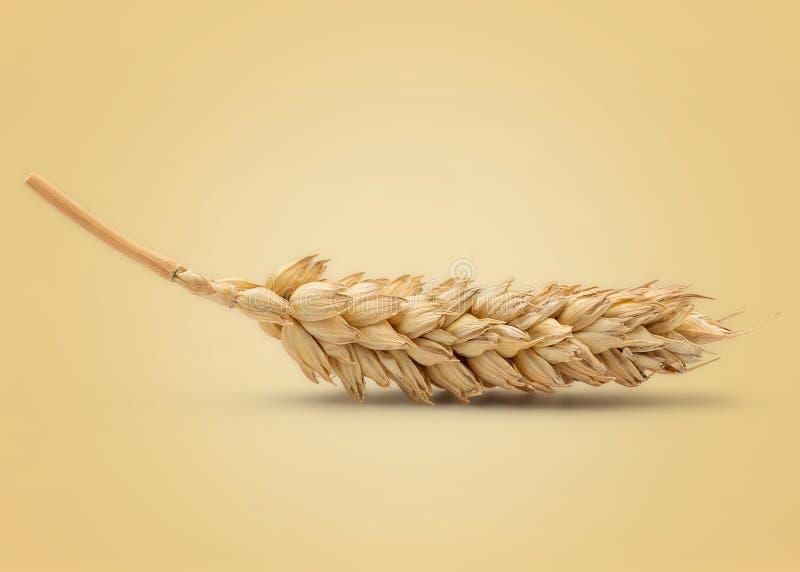 干麦子耳朵 库存照片