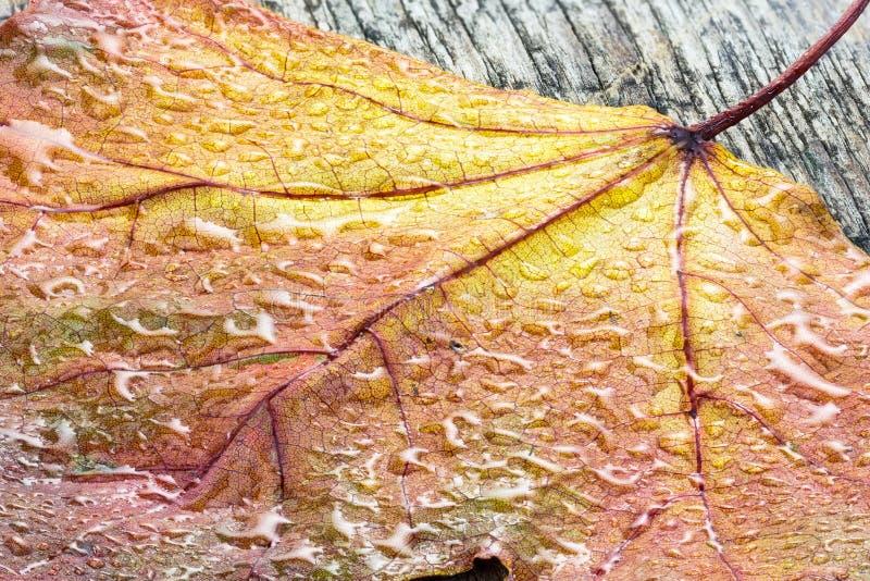 干黄色枫叶用水在宏观的木板滴下 免版税图库摄影