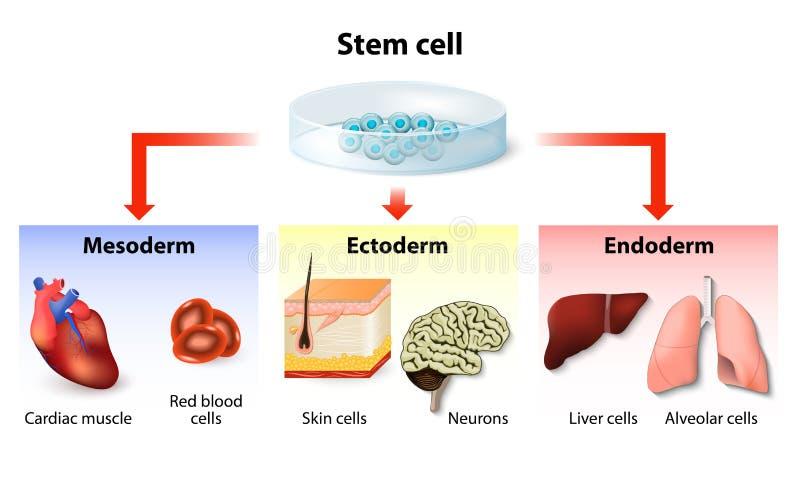 干细胞应用 向量例证