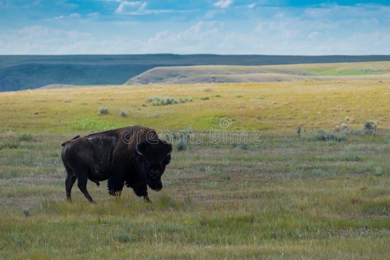 平原北美野牛,水牛城在草地国家公园 库存图片