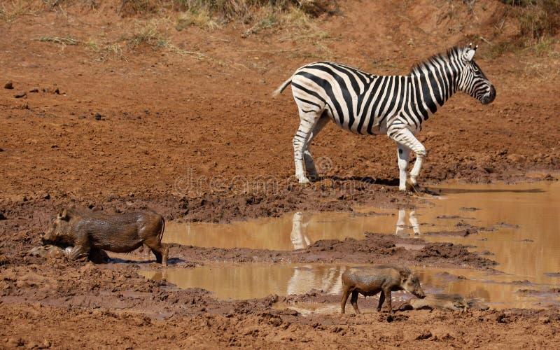 平原斑马和warthog在waterhole 免版税图库摄影