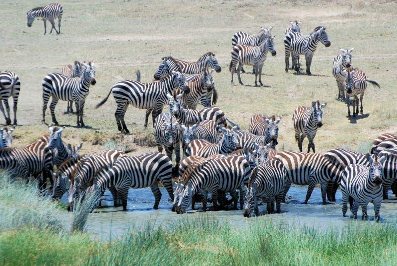 平原斑马喝在水坑塞伦盖蒂的大小组 免版税库存图片
