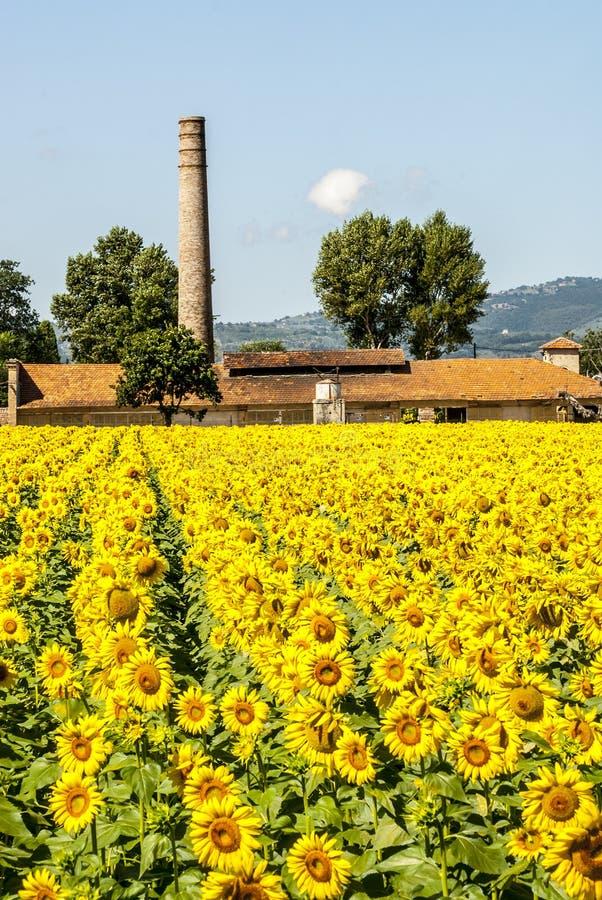 向日葵的域临近Foligno (翁布里亚) 库存照片