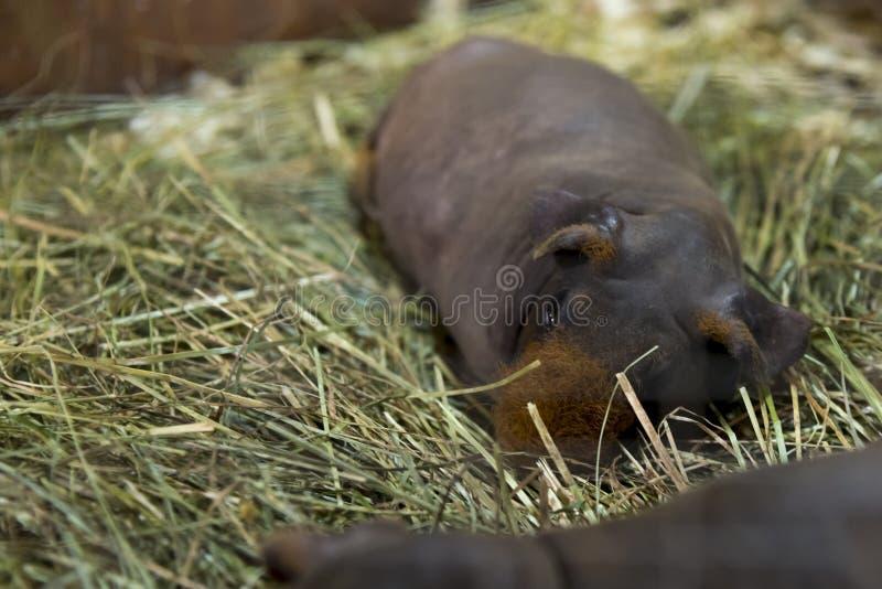 平安地基于干草的一只皮包骨头的豚鼠 库存图片