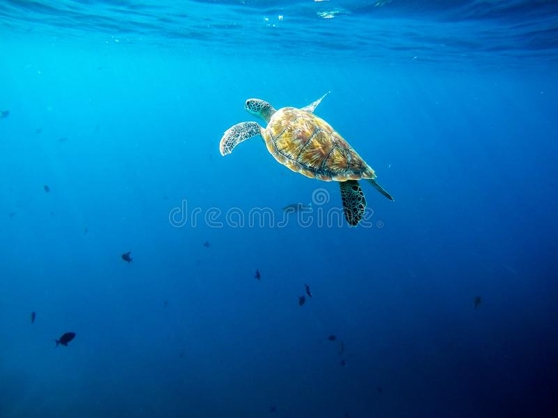 平安地游泳和潜水在海岛珊瑚礁附近的大老绿浪乌龟 免版税库存照片