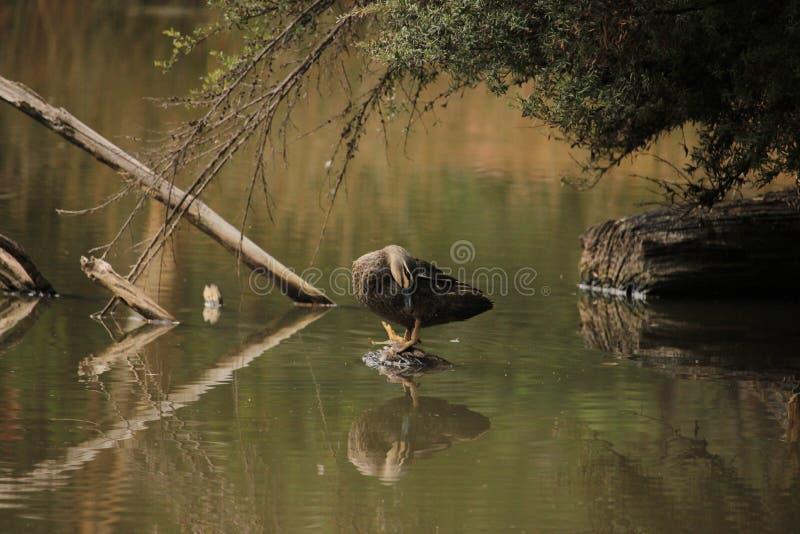 平安地自夸的和平的黑鸭 免版税库存图片