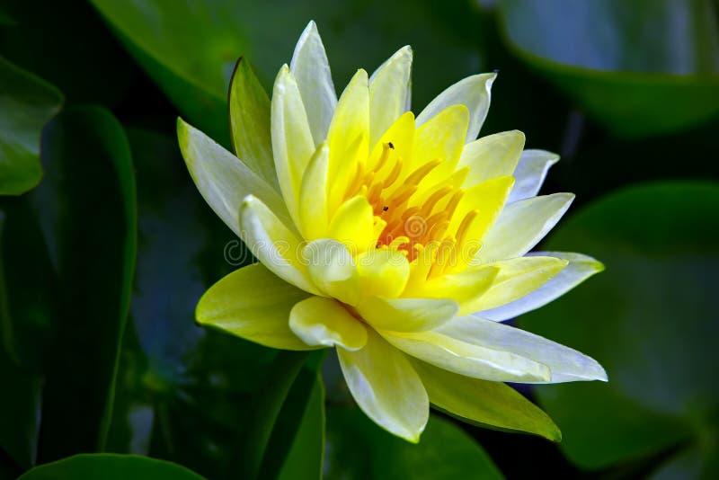 平安的发光的黄色荷花在池塘 库存照片