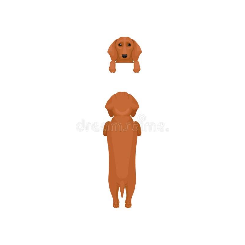 平的传染媒介套狗姿势 前面和后面观点的棕色达克斯猎犬 枪口画象有垂悬在边界的爪子的和 向量例证