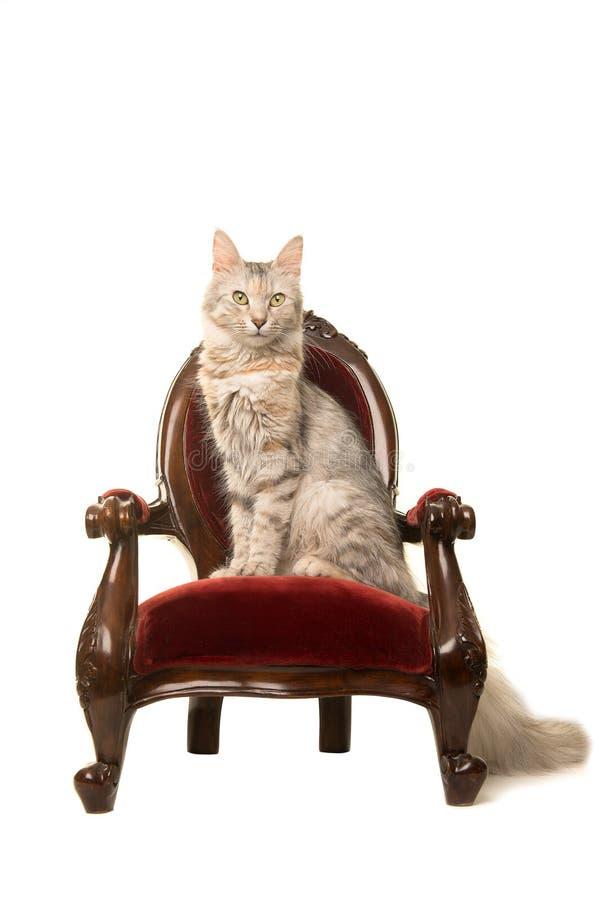 平纹土耳其安哥拉猫猫坐看照相机的一把古色古香的椅子 图库摄影