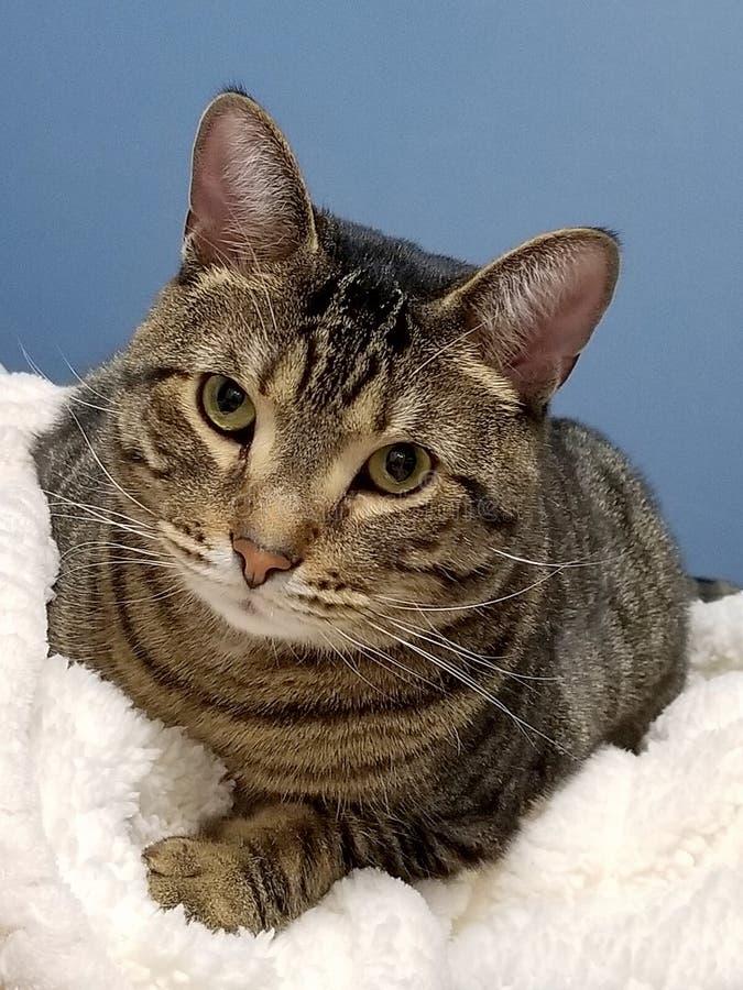 平纹在白色毯子的汤姆猫 免版税库存照片