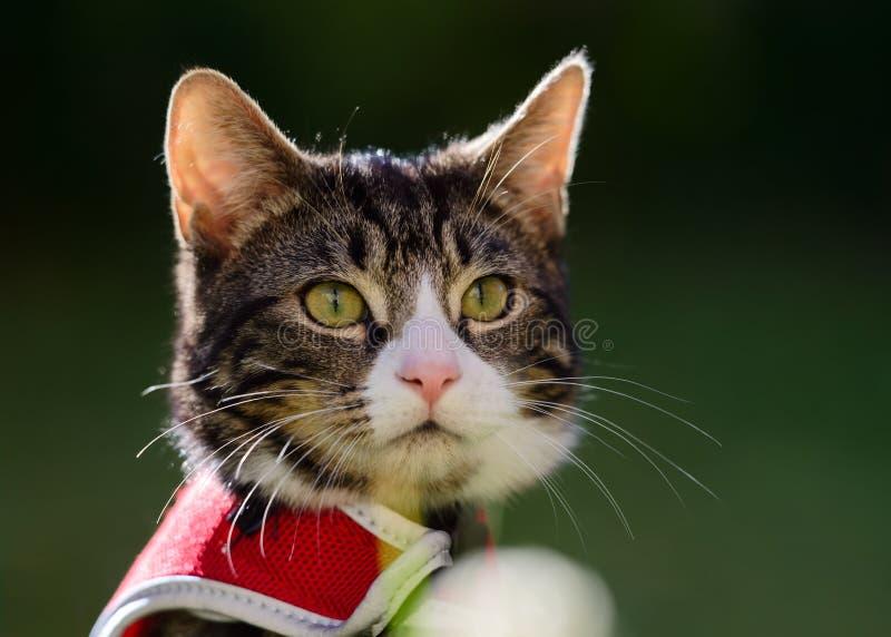 平纹小猫室外画象在红色鞔具的 免版税库存照片