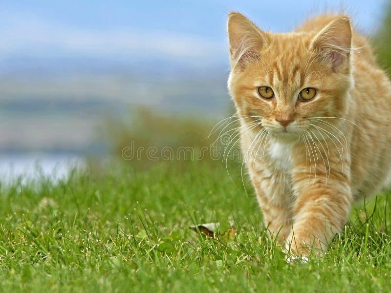 平纹小猫探索 库存图片