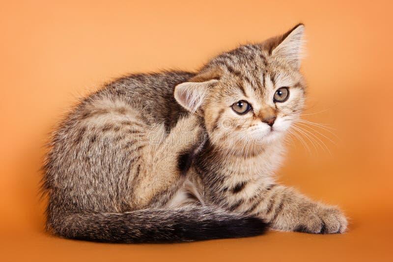 平纹小猫 库存图片