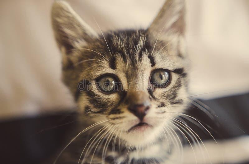 平纹小猫 免版税图库摄影