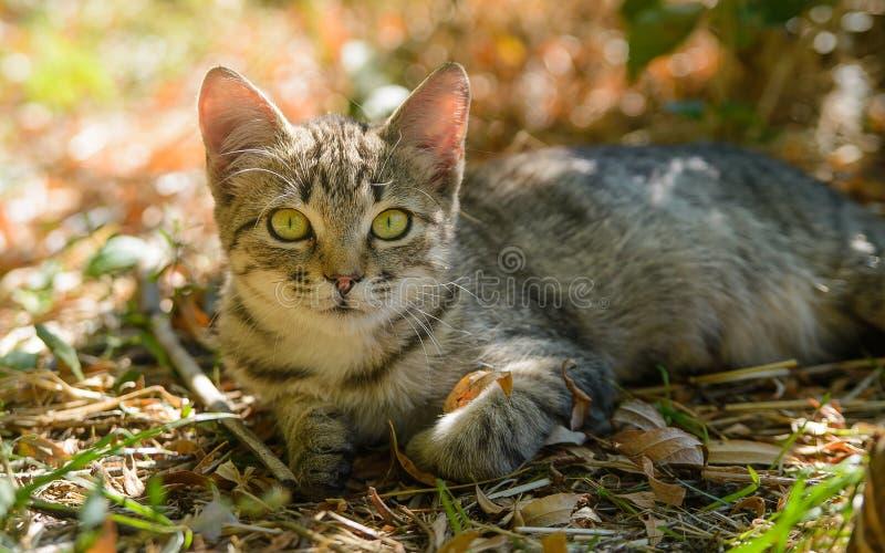 平纹秀手旁观在叶子门的全部赌注猫 免版税库存照片
