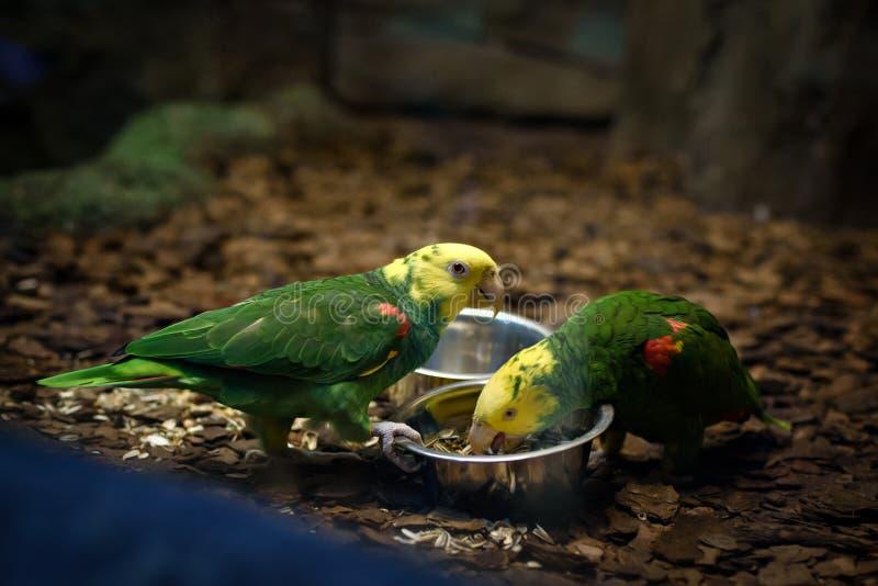 平行吃两只Lorikeet的鹦鹉 免版税图库摄影