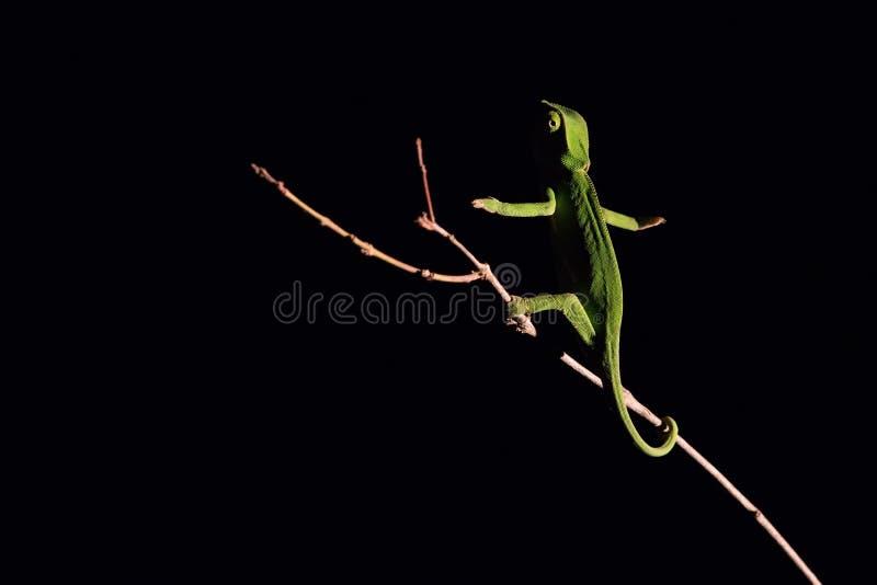 平衡在一根棍子的变色蜥蜴在黑暗中在有选择性的照明设备 图库摄影