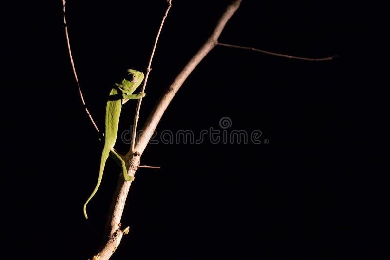 平衡在一根棍子的变色蜥蜴在黑暗中在有选择性的照明设备 免版税图库摄影